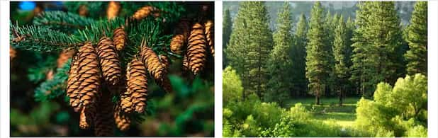 Pine Wood and Pinecone